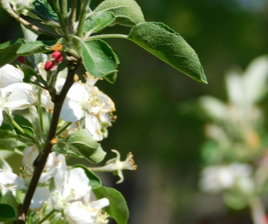 apple blossoms on apple tree, how to grow fruit