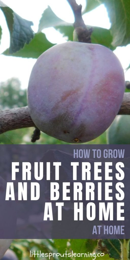 Learning to how to grow fruit at home can be very rewarding. Fresh homegrown fruit picked at the peak of ripeness has a flavor that is unforgettable.