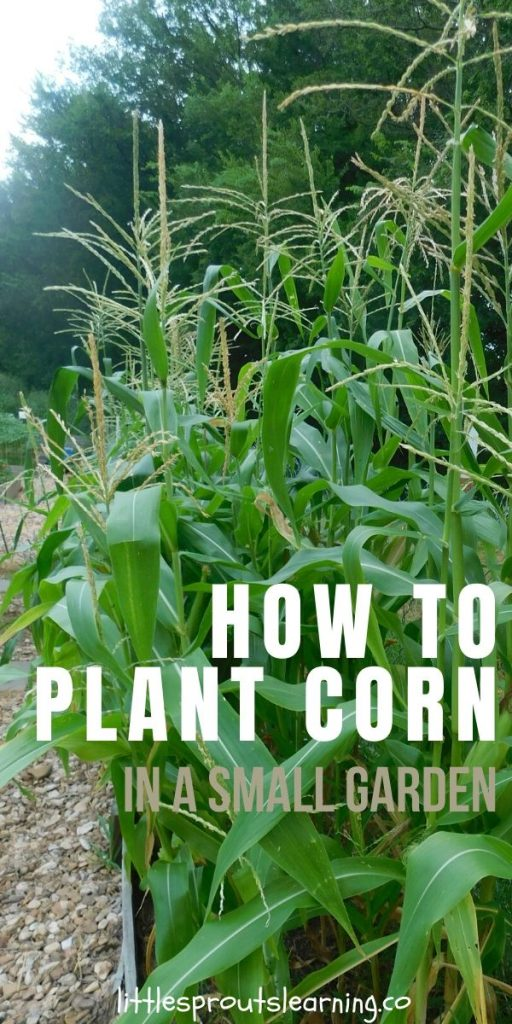Growing corn in your home garden is fairly simple. As long as you provide the plants enough water and keep the pests at bay, you'll have corn success!