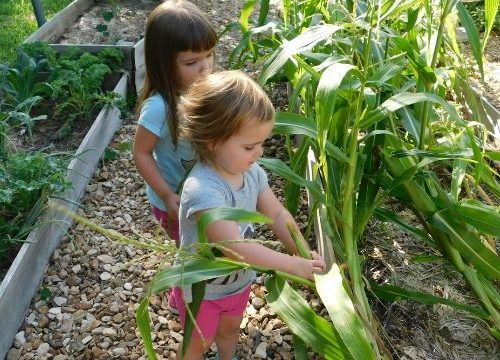 Learning how to plant corn in your garden is simple. As long as you provide the plants enough water and keep the pests at bay, you'll have corn success!