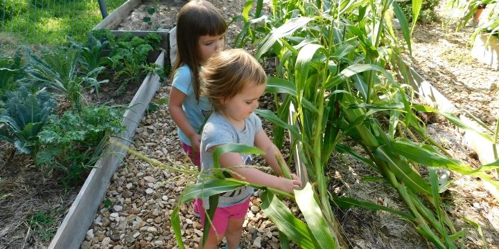 How to Plant Corn in a Small Garden