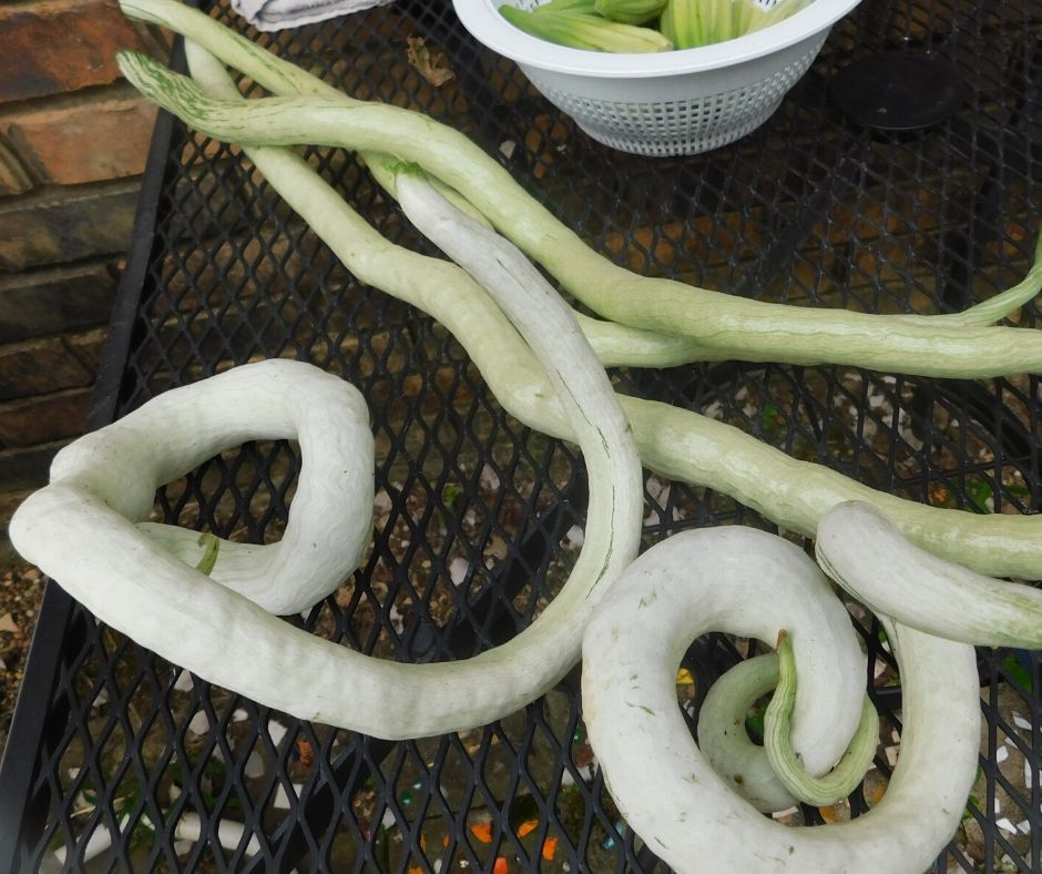 chinese python snake beans on the table