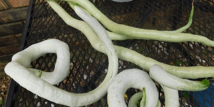 Chinese python snake beans are quite interesting to grow. They are simple to get started, grow like crazy and produce a ton of produce in the vegetable garden.