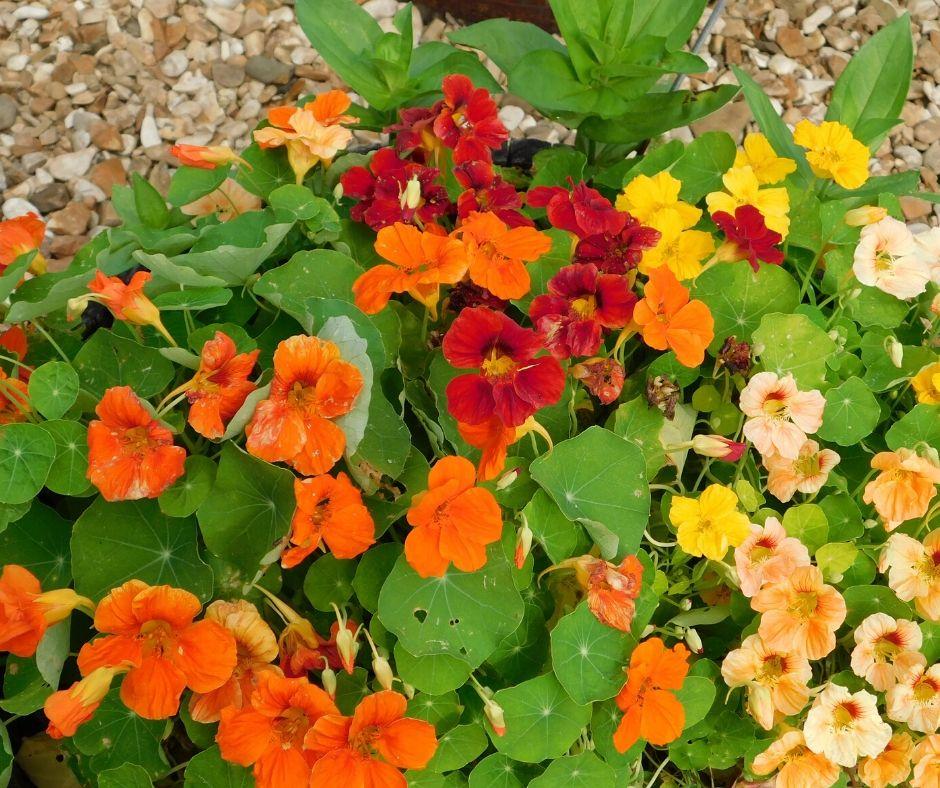 nasturtiums in urban garden design