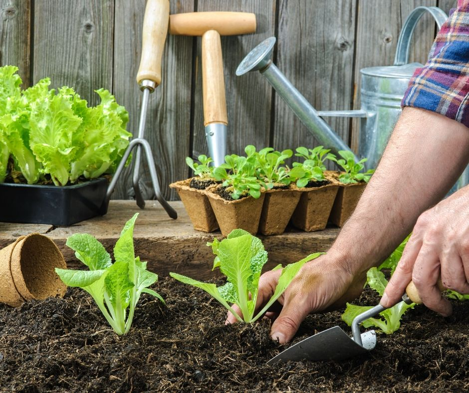 garden planting lettuce with a hand spade in the garden