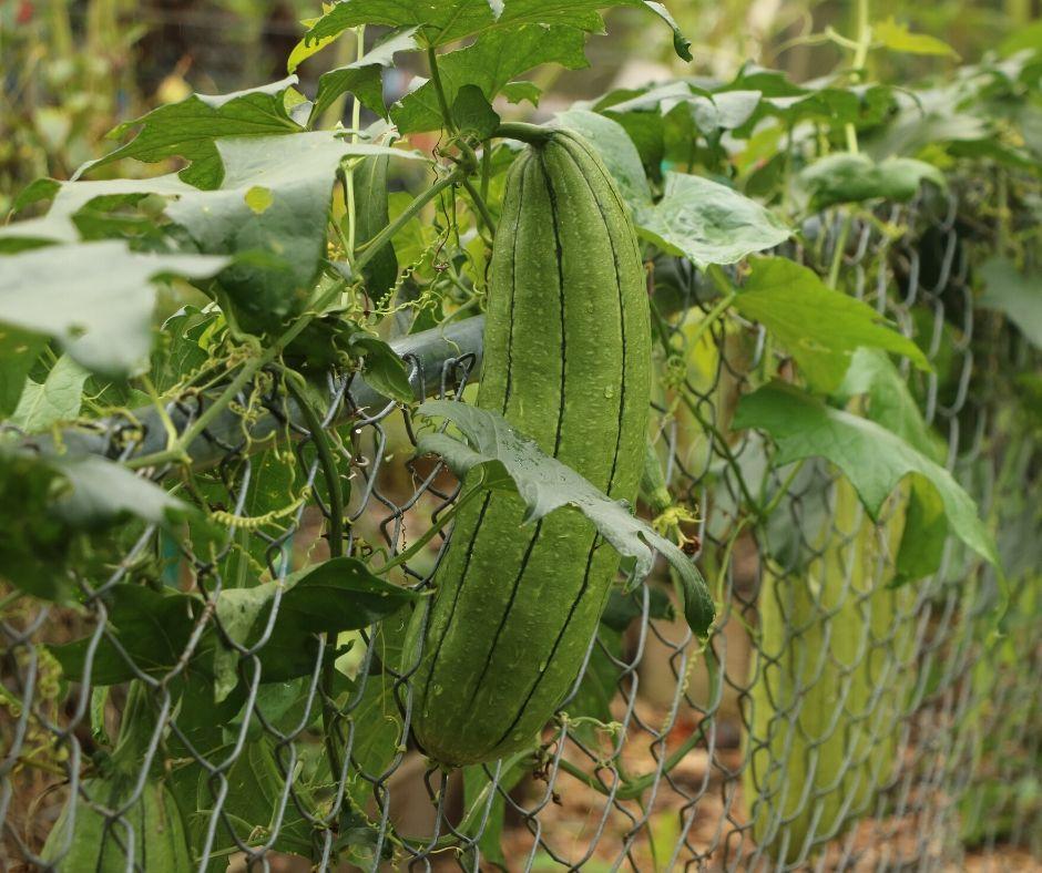 loofah sponges growing on a vine