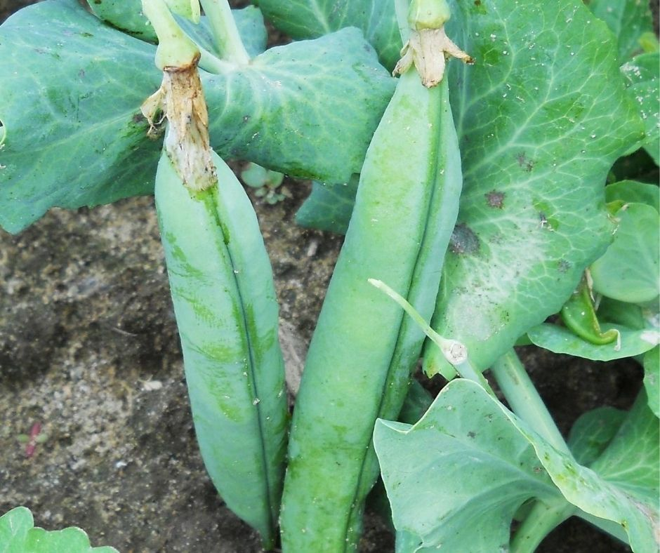 fat pea pods growing on the vine