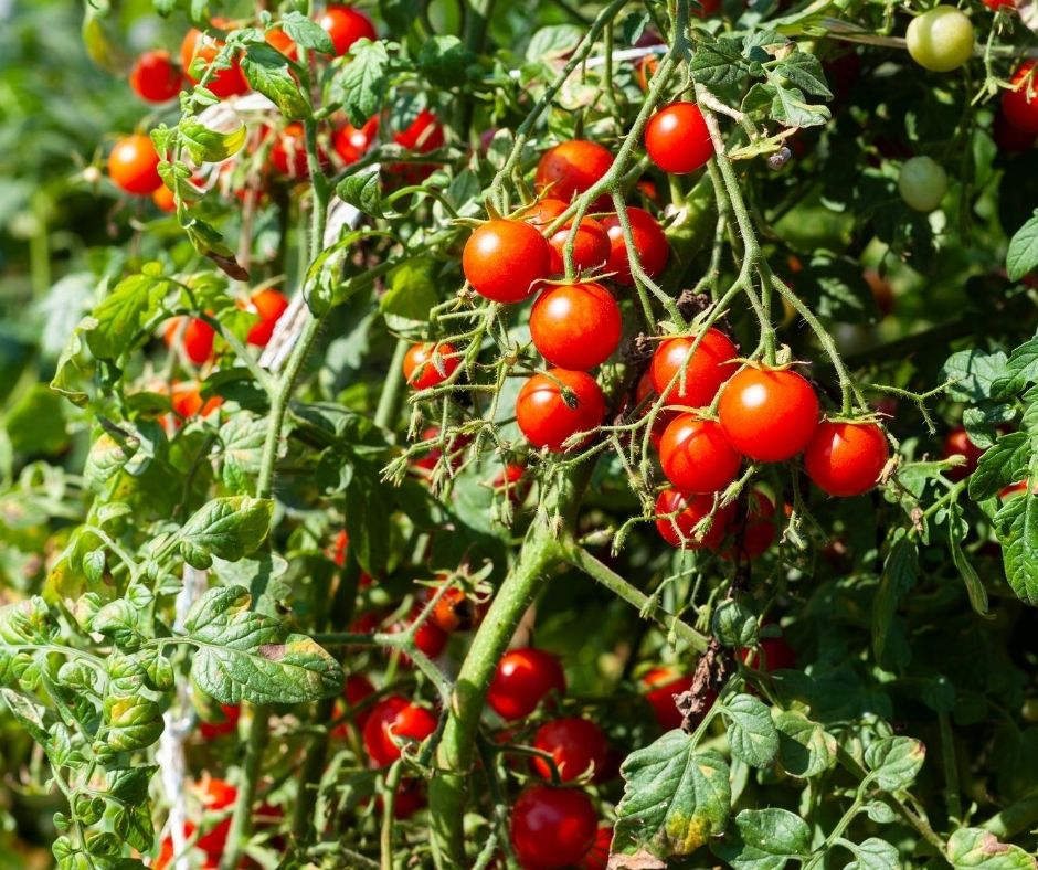 tomato vines loaded with tomatoes