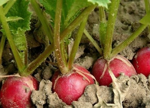 Companion planting is growing things together that help each other with a symbiotic relationship. Learn what the best plants are to plant with radishes.
