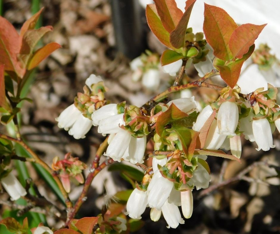 blueberry bushes in spring with red leaves and white flowers, edible landscaping