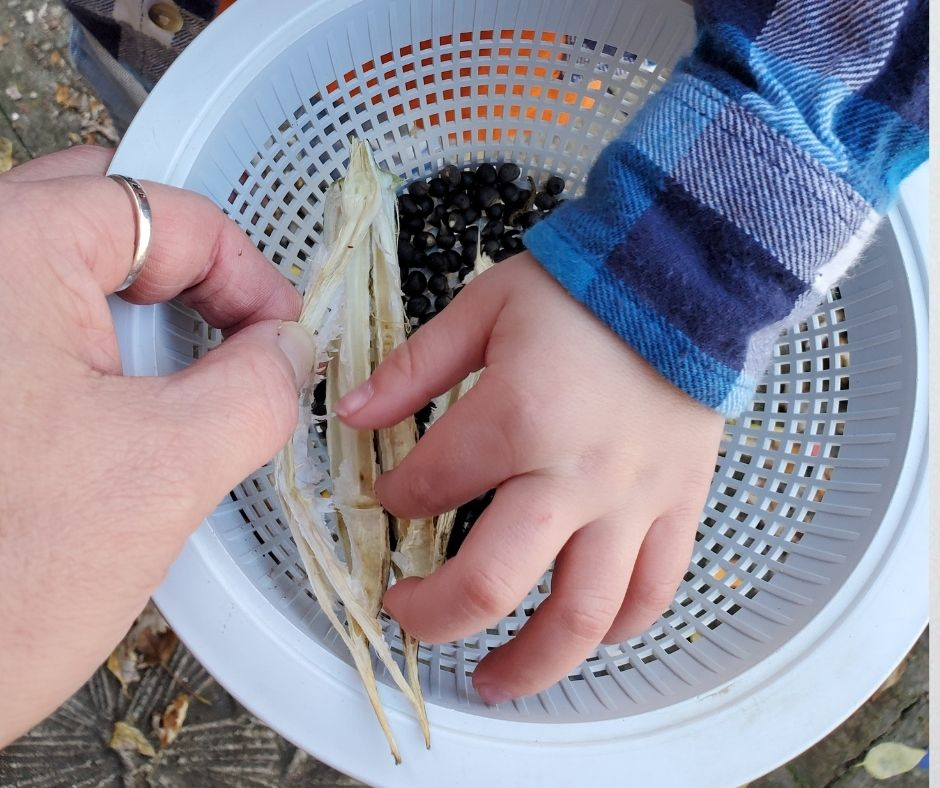 child saving okra seeds while adult holds the pod steady over a bowl