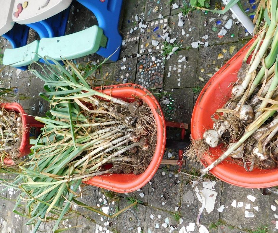 three kid wheel barrows full of freshly harvested garlic heads