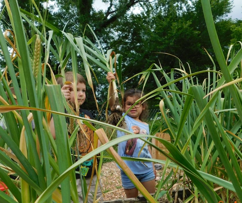 kids harvesting garlic from the garden