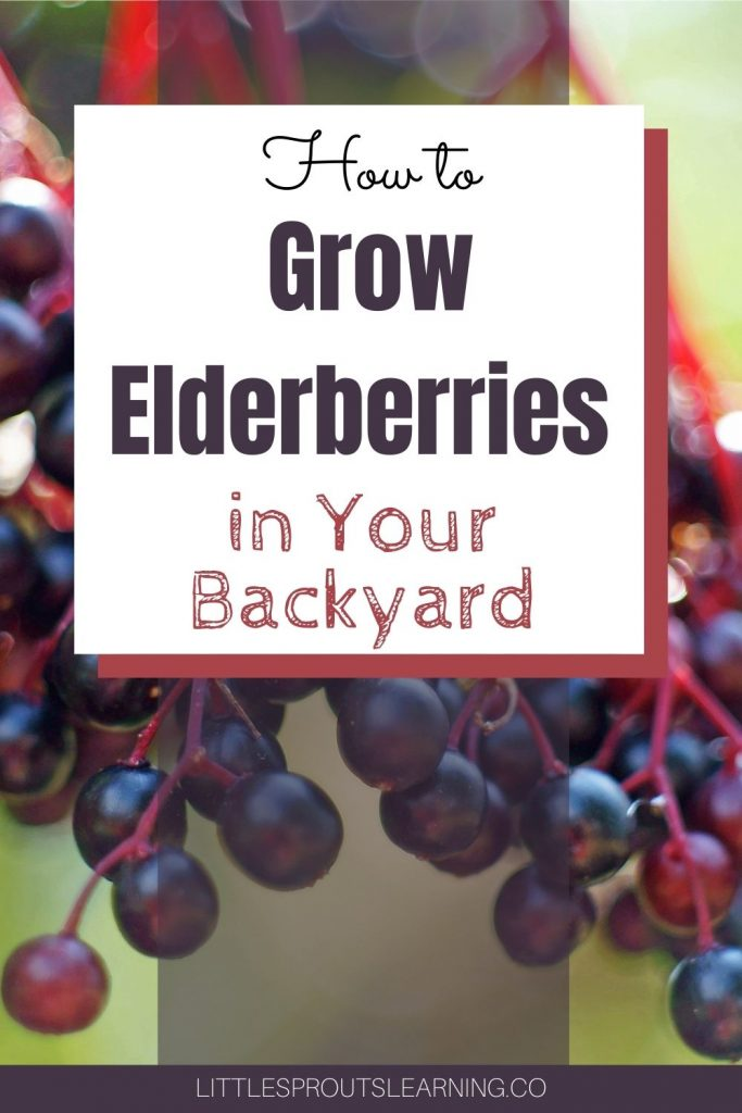 Learn how to easily grow elderberries right in your backyard. Did you know you could grow them at home?
