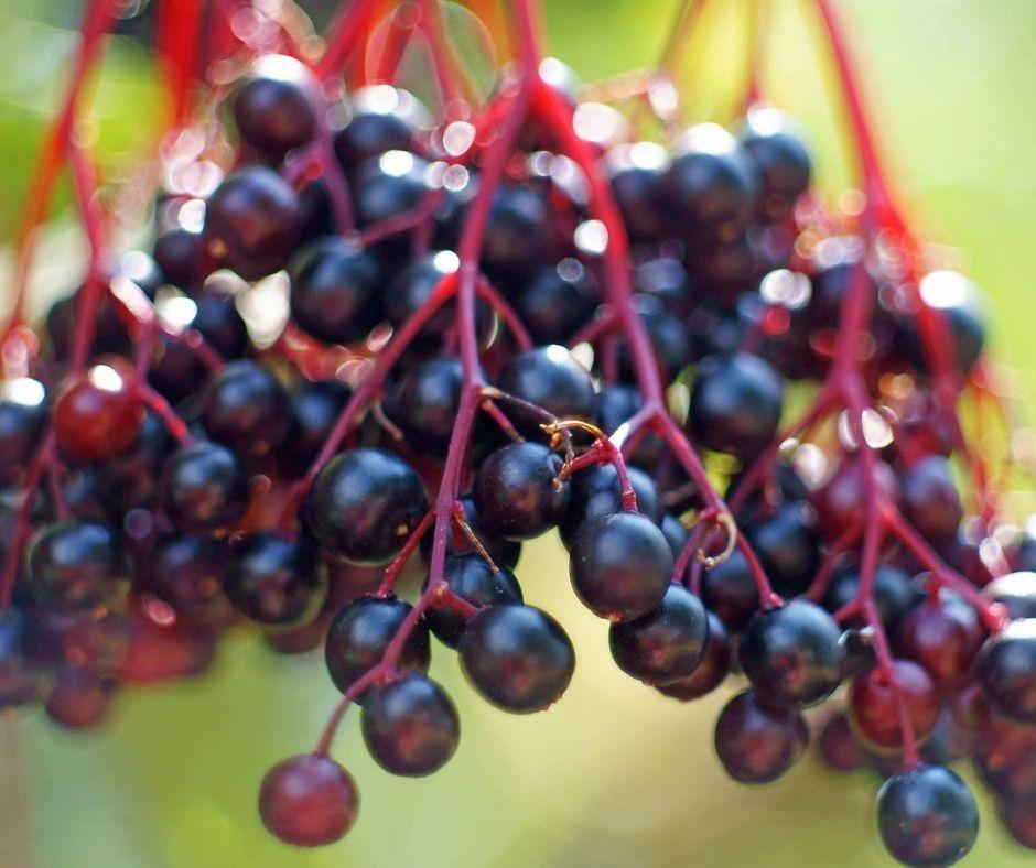 ripe elderberries growing on bush