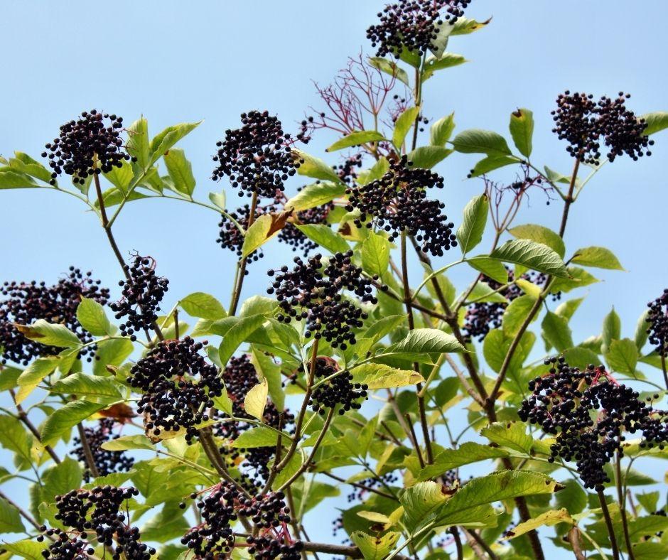 elderberry clusters growing in bush