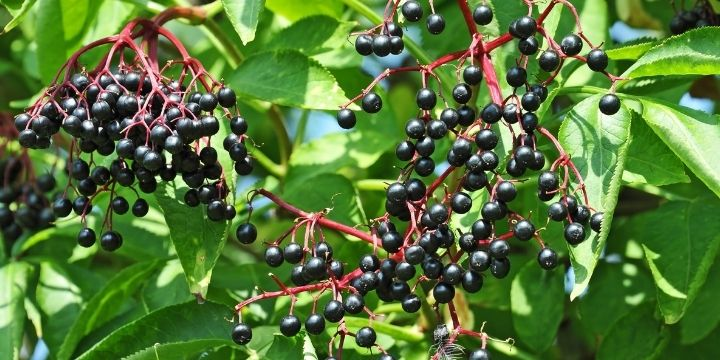 How to Grow Elderberries in Your Backyard