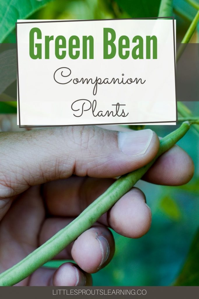 Some plants make good neighbors in the vegetable garden and some don't. Find out what are the best green bean companion plants.