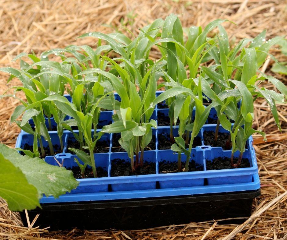 Corn seedlings in a flat