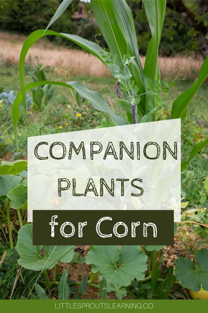 Planting vegetables that grow well together in the garden helps boost your production. Find what makes great companion plants for corn.