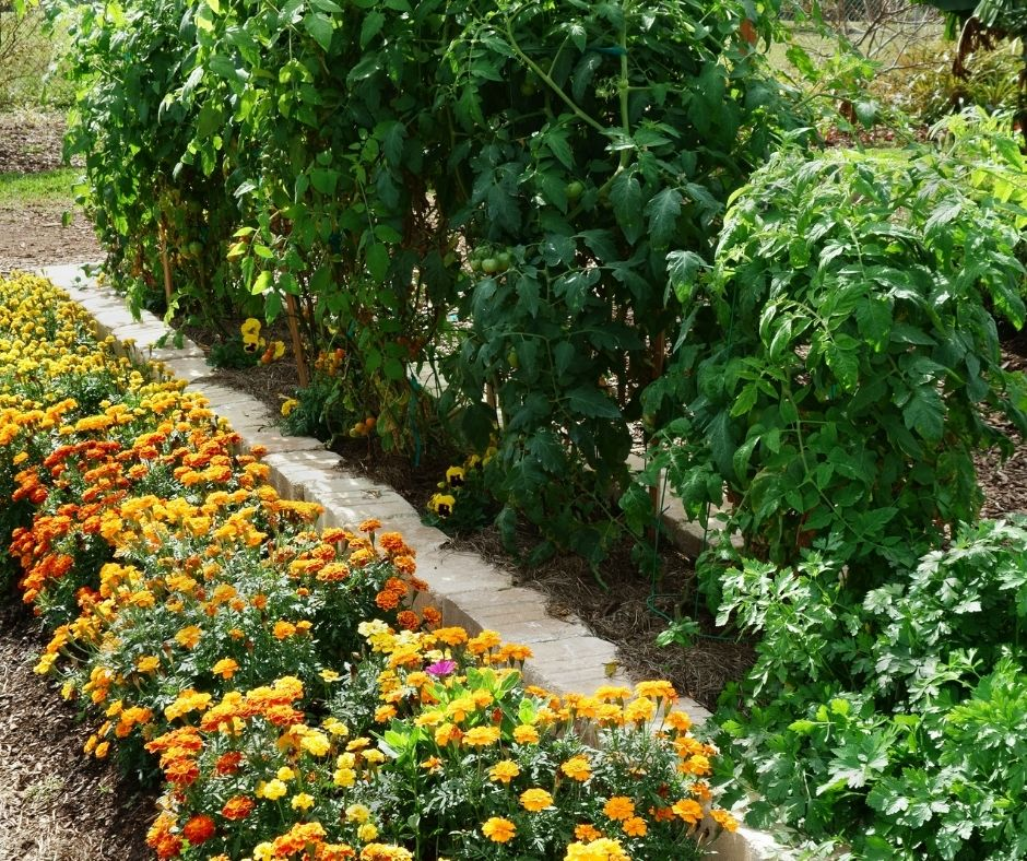 tomato plants with marigolds and pansie