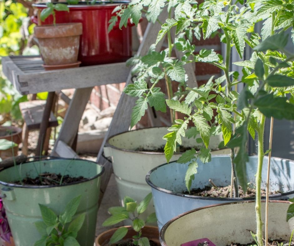 tomato plants in pots with herb plants nearby