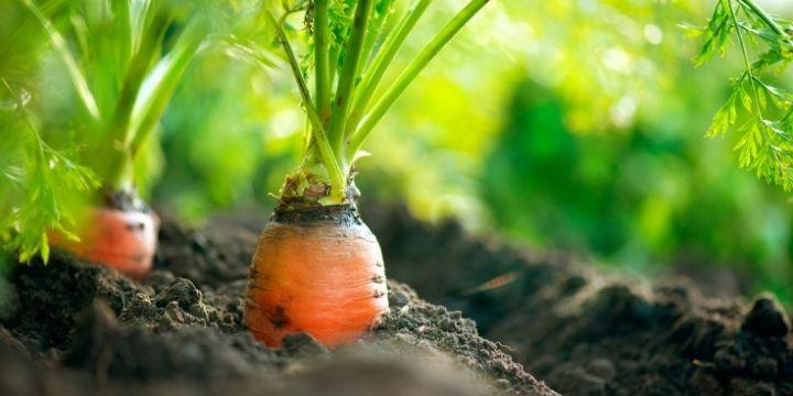 Companion Planting Carrots