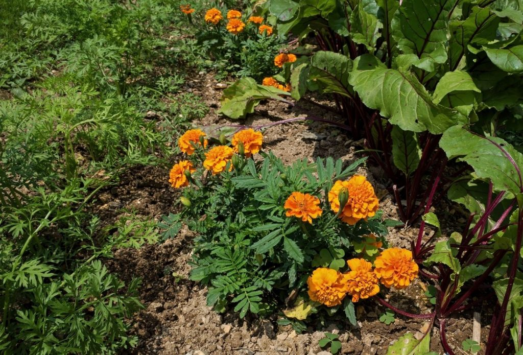 Carrots in the garden growing next to marigolds