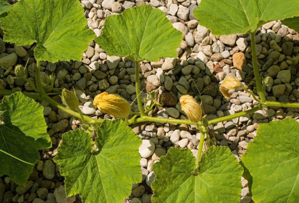 long squash vine with blossoms