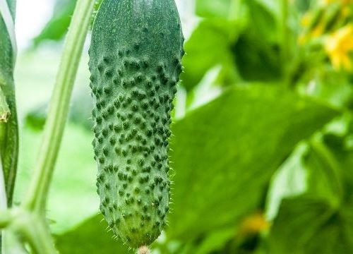 cucumber hanging on the vine in the garden