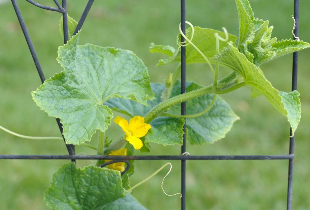 cucumber vine growing up a fence with yellow blooms on it