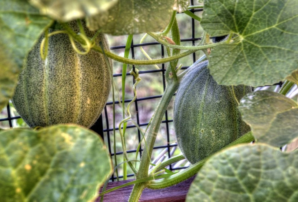 melons hanging on the vine in the garden