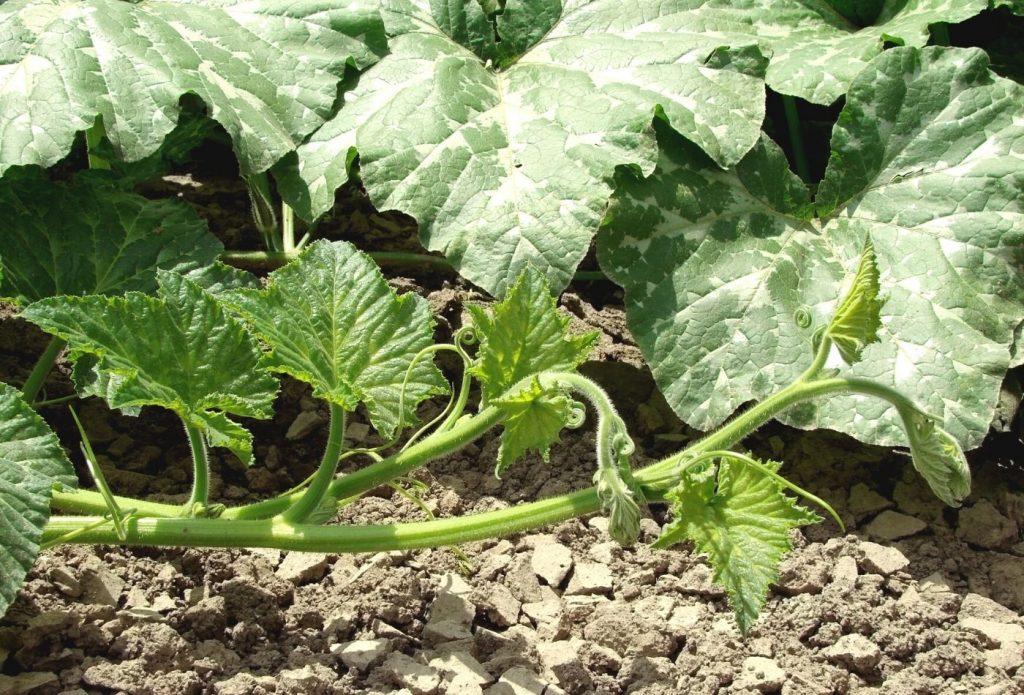 Pumpkin vines in the garden