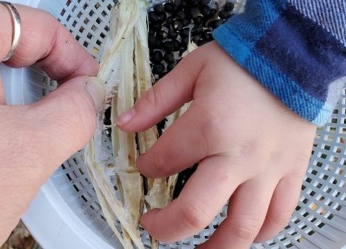 small child digging seeds out of an okra pod to save for next year.