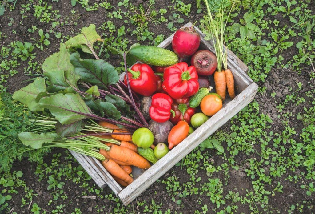 Basket of homegrown garden veggies in oklahoma sitting on the ground