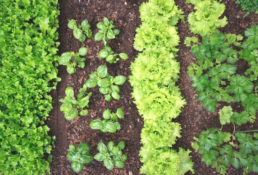 rows of plants in the garden, lettuce, basil, and other companion plants for lettuce